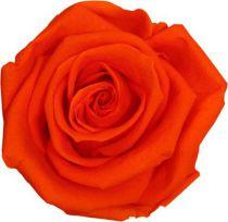 Rose Stabilisée Standard Orange x 6