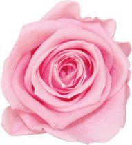 Rose Stabilisée Standard Rose Pastel x 6