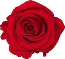 Rose Stabilisée Standard Rouge x 6